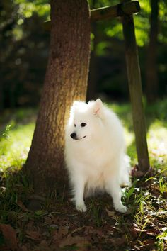 lost in the woods by Ichini Efu on Miniature American Eskimo, American Eskimo Puppy, Cute Tiny Dogs, Cool Pets, Beautiful Wolves, Beautiful Dogs, Samoyed Dogs, Pet Dogs, Japanese Spitz Dog