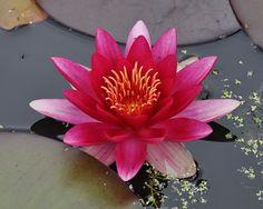 Rare flowers a lotus flower tattoos pinterest rare flowers attraction nymphaea wikipedia the free encyclopedia mightylinksfo