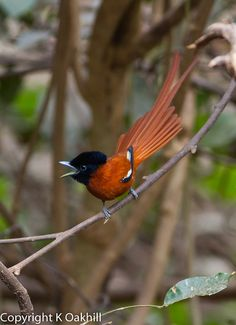 red-bellied paradise flycatcher    (photo by kevin oakhill)