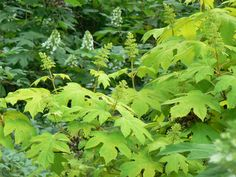 Hydrangea 'Little Honey'
