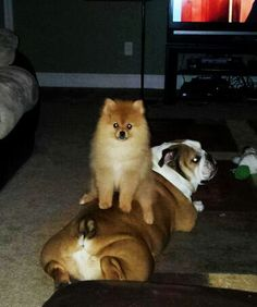 329 Best Pomeranians Images Cute Puppies German Spitz Cute Dogs