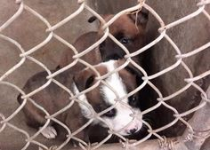 These supercute babies are at the Odessa HIGH KILL Shelter. This shelter is old, small and dirty and the dogs are getting sick quickly here. They have only a few days before they end up at the kill list. Located at Odessa, Texas Animal Control.  https://www.facebook.com/speakingupforthosewhocant/photos/pb.248355401855372.-2207520000.1412712932./853353154688924/?type=3&theater