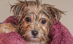 Puppy bath time for this little terrier