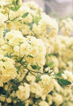 Lady Banks roses ... brings childhood memories of my grandmother's yard.
