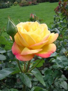 Peace Rose My mothers favorite Rose. She filled the garden with them. Soft golden yellow shading to pure rose pink and peachy fragrance. Beautiful Roses, Beautiful Gardens, Star Jasmine Vine, Rose Foto, Ronsard Rose, Peace Rose, One Rose, Coming Up Roses, Hybrid Tea Roses