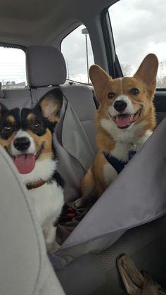 Corgi Overload (Where are we going?!?)
