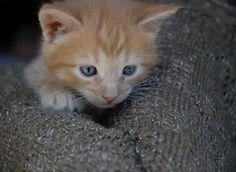 ginger, cat, kitty, blue eyes, red