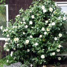 white camellia--the hunt for shade tolerant shrubs is on! Camelia Tree, Garden Shrubs, Shade Garden, Garden Plants, Vegetable Garden, Camellia Plant, White Camellia, Front Yard Plants, Landscaping