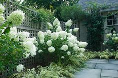 Garden ideas, landscaping Ideas, Hedges ideas, Hydrangea paniculata Limelight, Japanese forest grass, Hakonechloa Macra, Hakone Grass, romantic hedge, white hedge, Westover Landscape Design
