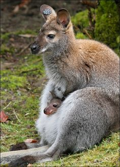 Baby wallaby!