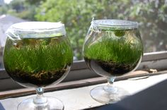PVAS Forum • View topic - Growing hairgrass in small containers
