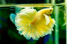 Gold dumbo ear betta fish picture  love the color and the fins