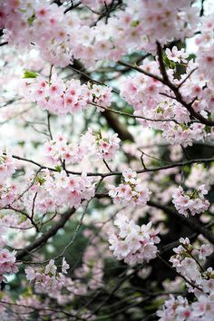 Sakura at Shinjuku Gyoen #2 by nipomen2, via Flickr