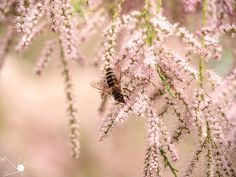 Bee | by Munns Foto Olympus Digital Camera, Bee, Dandelion, Flowers, Plants, Garden, Nature, Photography, Fotografie
