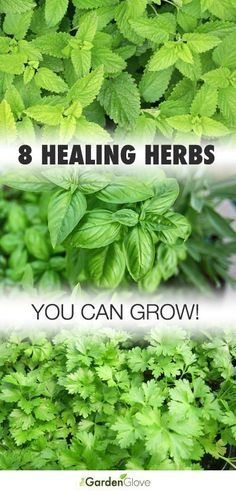 Good, short summary that includes some of my favorites (thyme, lavender and garlic). 8 Healing Herbs You Can Grow