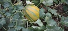 South GA Seed Company specializes in growing and selling Heirloom Seeds. Our Heirloom seeds are NON GMO and open pollinated. We are a Safe Seed Pledge Member. Permaculture, Growing Melons, Honeydew And Cantaloupe, Pot Plante, Seed Bank, Square Foot Gardening, Organic Gardening Tips, Garden Seeds, Plantation