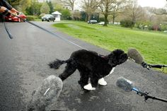 Sunny, a 14-month-old Portuguese water dog, became the newest member of the Obama family on Monday, and the internet erupted in cuteness. Description from barkingbeast.com. I searched for this on bing.com/images