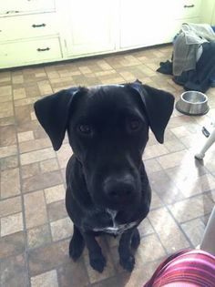 """LOST: Young black Lab mix (Topsfield)     © craigslist - Map data © OpenStreetMap 267 Rowley Bridge Rd (google map)  lost or found?: lost  """"Asher"""" went out to play last night and didn't come home. He's a real homebody, and usually comes right back. He wasn't wearing a collar, but he is microchipped. He is also very friendly, and would willingly hop into somebody's car. Please let us know if you find him! He is a much-loved friend."""