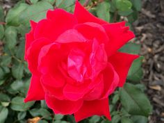 I love the natural look of red roses