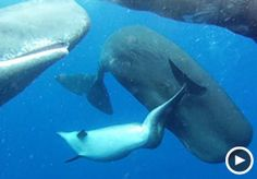 A dolphin with a spinal deformity adopted by whales....  Image: Video still of a dolphin swimming with sperm whales (Courtesy of StupidVideos)