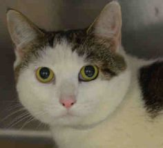 """HEAVEN - A1034064 - - Manhattan  *** TO BE DESTROYED 05/23/15 *** ANGELIC HEAVEN IS LOOKING FOR SOME HEAVEN ON EARTH….A volunteer writes: It's not heaven on earth for this little soul. She looks at you with her soulful eyes and searches deep in your heart. """"Take me home"""", she conveys, """"I want to be a part of your life. I am friendly, gentle and sweet and can make your life complete"""". Come and take her away and offer her that safe comfortable life she deserve"""
