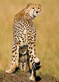 "Mackay took this shot of a mother cheetah and her last cub—two others had just been lost to predators—in Kenya's Masai Mara National Reserve. ""It shows the commonality of what all mothers feel toward caring for and protecting their children,"" she says. by Piper Mackay"