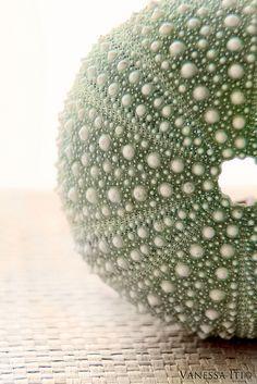 Urchin by Vanessa Iti (Bella Cupcakes) on Flickr.