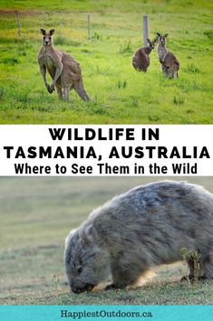 Best Places to See Wildlife in Tasmania | Happiest Outdoors