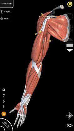 Мышечная система - 3D - Lite– скриншот