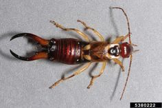 earwig picture 3