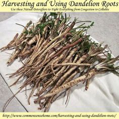 Harvesting and Using Dandelion Roots, Nature's Natural Detoxifier