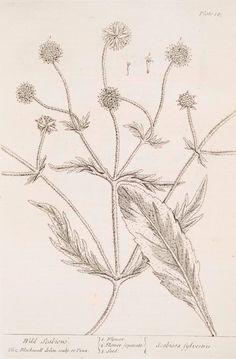 Wild scabious.  [Scabiosa sylvestris.] (1739)