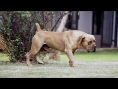 Farm Dogs, Labrador Retriever, African, Animals, Labrador Retrievers, Animales, Animaux, Animal Memes, Animal