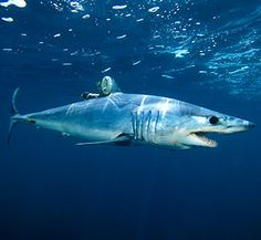 Themako shark(see photos) is the fastest known shark. Its speed comes in handy, as the shark is known to travel long distances in search of prey or a mate.