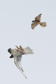 Gyrfalcon & Merlin (Birds of Prey, Falcons)