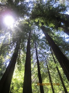 Muir Woods filled with towering gentle giants....a short drive from San Francisco. This place is a must for anyone visiting the Bay Area,  You don't have to head north to Humboldt County or Yosemite so see these majastic redwoods.