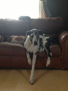 The lazy life of a Great Dane! <3