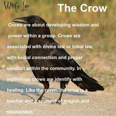"""Tricky Playful Magical Curious Secretive Confident Protective Mysterious Unpredictable The Latin term """"Corvid"""" identifies the crow family. This word is derived, in part, from the word """"cunning"""". Wiccan, Magick, Witchcraft, Crow Meaning, Crow Facts, Animal Spirit Guides, Crow Spirit Animal, Animal Medicine, Crows Ravens"""