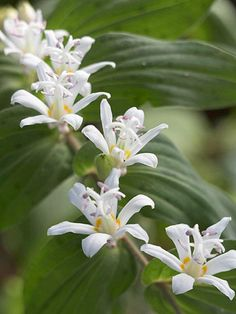 "Toad Lily - shade perennial.  plant behind hosta.  ""White Towers"""