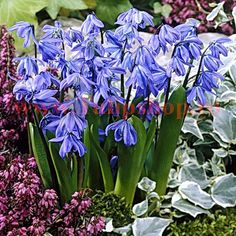 Siberian Squill Scilla siberica Siberian Squill from Netherland Bulb. Photo © Netherland Bulb Company, Images may not be copied, altered or reproduced without express written consent. Crocus Bulbs, Tulip Bulbs, Bulb Flowers, Flower Pots, Purple Flowers, Garden Beds, Garden Plants, Garden Cafe, Spring Bulbs