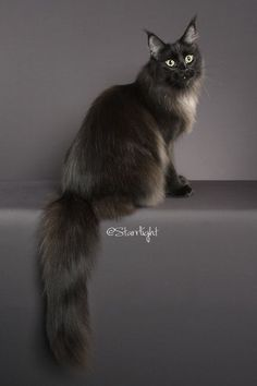 Maine Coon Cats - WhatATrill Maine Coons of Northern California - Our Female Cats