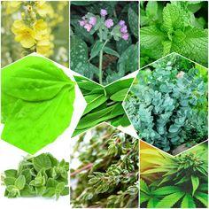9 plante care vă CURĂȚĂ PLĂMÂNII și TRATEAZĂ AFECȚIUNILE RESPIRATORII - Pentru Ea
