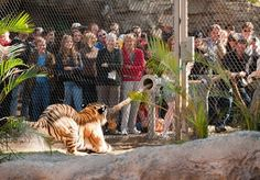 Busch Gardens In Florida Lets You Play Tug-Of-War With A Tiger