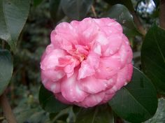 Camellia japonica 'Infante Dom Augusto' (Portugal, 1865)