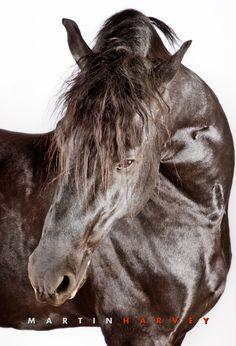 Black Friesian Horse against white background. Wow!