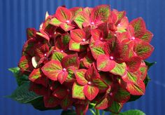 Newest Polar Vortex Fodder - 2014 Selections!  Hydrangea Magical Sunfields.  Green color more prominent as bloom ages.
