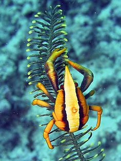 Elegant squat lobster (Allogalathea elegans)