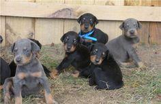 Dobermann cuccioli Maschietti e femminucce di Dobermann color nero focato e blu focato con gli occhi azzurri, allevamento consegna in regola con la prima vaccinazione, le sverminature,