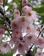 Blueberry Ash - Australian native. So pretty!