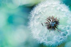 Delicate by mylittlepixels Anna Jane ~ Dandelion